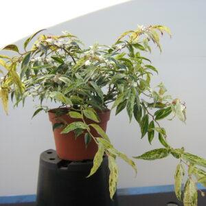 leucothoe-fontanesiana-rainbow