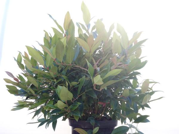 leucotoe-axillaris-scarletta