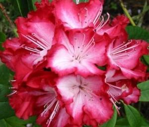 rododendro1