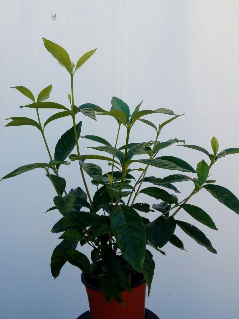 gardenia-grandiflora