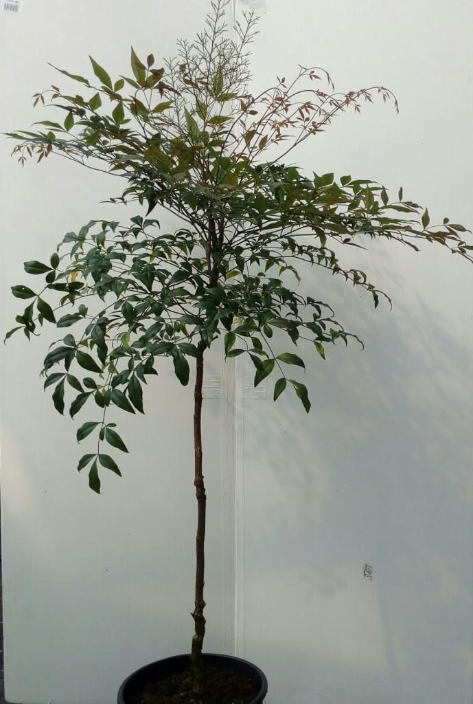 nandina-alberello
