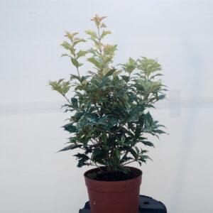 osmanthus-tricolor