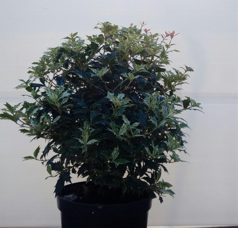 osmantus-tricolor-26