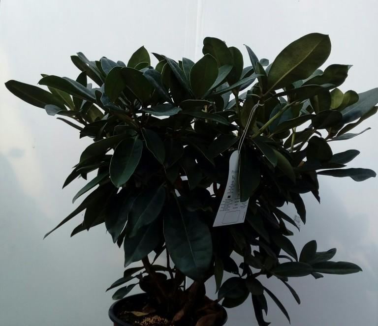 rododendro-22