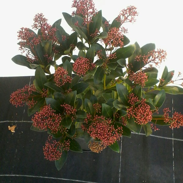 Skimmia japonica piante del vergante for Skimmia pianta